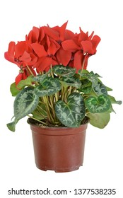 Red flower of cyclamen in a pot isolated on white background. Persian cyclamen flower. Beautiful and bright cyclamen, background, flowers and pots, spring plant, nice gift .