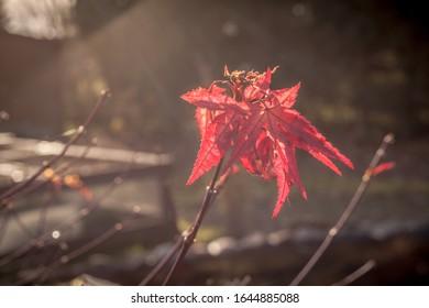 Rote Blume einer Gartenpflanze in der Natur mit unscharfem Hintergrund warmer Ton.