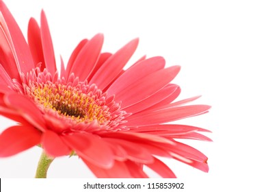 Red flower gerbera isolated on white background