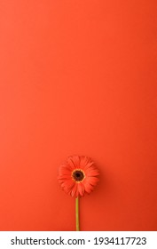 Red flower gerbera on a red background. Minimal concept 2021. Monochromatic colors. Flat lay spring idea.