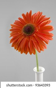 red flower of gerbera on a grey background