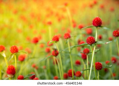 red flower. Gomphrena haageana strawberry fields. Red flowers in the sunrise.