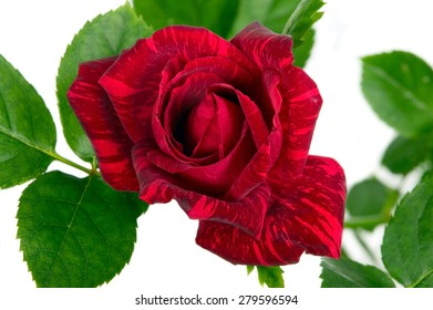 Red flower with green leaves on white background
