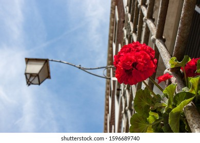 Red Flower Growing on Metal Latticework with Street Lamp in Venice