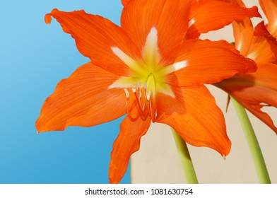 Red flower of a hippeastrum on a blue sky background.