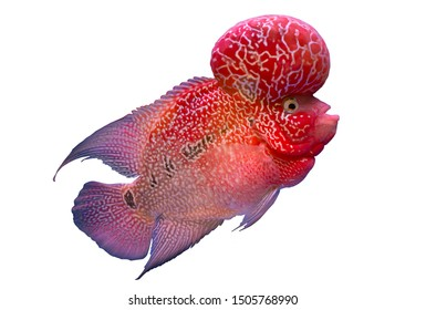 Red flower horn fish isolated on white background