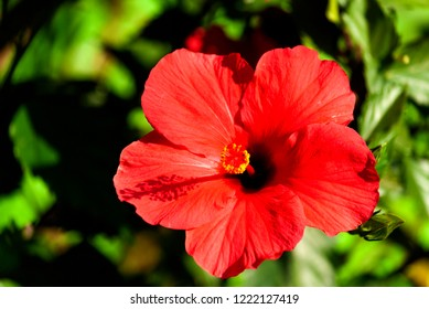 Red flower intense color in tropical organic garden in Guatemala, Central America. Hibiscus or hibiscos, Hibiscus rosa-sinensis