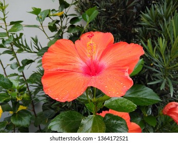 Red flower intense color in tropical organic garden in Guatemala, Central America. Hibiscus or hibiscos, Hibiscus rosa-sinensis - Imagem