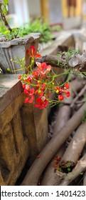 Red flower of Krishna chura tree