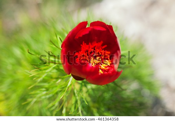 Red flower of mountain peony close up