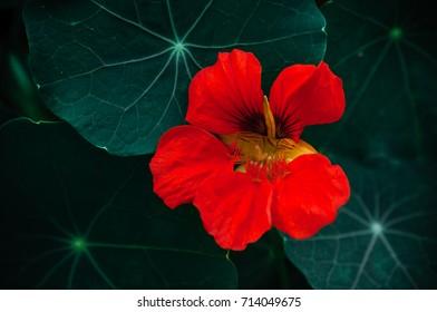 red flower of nasturtium with dark green leaves
