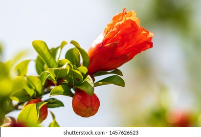 Red flower on pomegranate. Nature in the subtropics