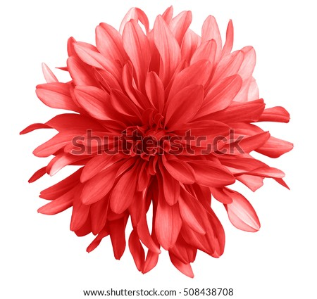 Red Flower On White Background Isolated Stock Photo Edit Now