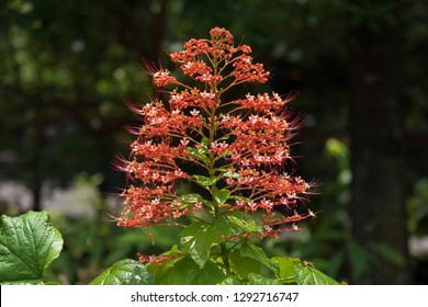 Red flower of Pagoda flower, also known as Hanuman kireetam growing in Singapore (Clerodendrum paniculatum)