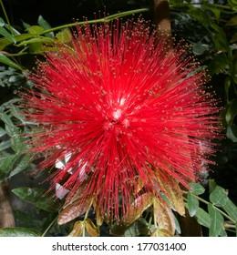 red flower: Pink Powder Puff, also known as Calliandra haematocephala