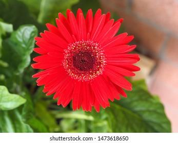 red flower of plant gerbera (Gerbera Hybrida) daisy