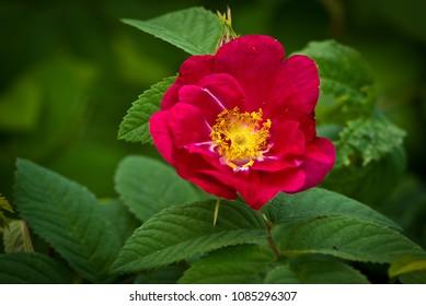 Red flower of rosa 'splendens'