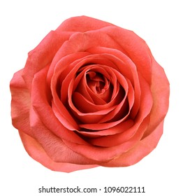 Red flower rose  on white isolated background with clipping path.  no shadows. Closeup.  For design. Nature.