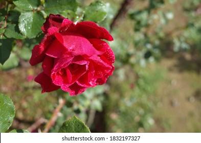 Red Flower of Rose 'Victor Hugo' in Full Bloom