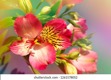Red flower in soft light. Macro. Alstroemeria flower in multicolored tones. Spring and summer design using alstroemeria flowers.