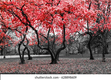 Red flower trees blossom in a black and white landscape scene