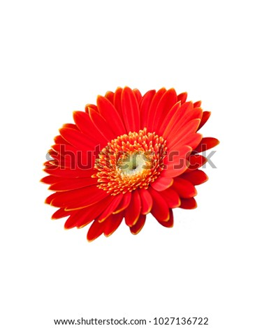 Red Flower White Background Wallpaper Stock Photo Edit Now