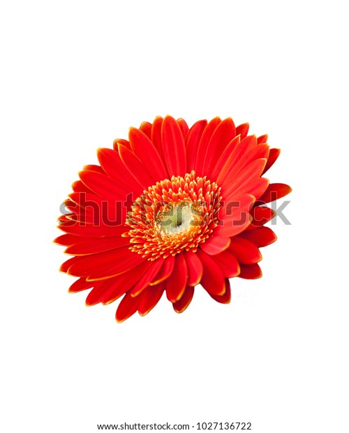 Red Flower White Background Wallpaper Stock Photo (Edit Now