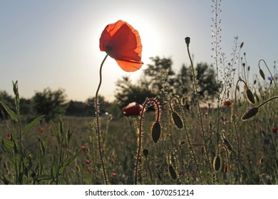 The red flower of the wild poppy stands among the other unblown flowers in the meadow. The first blossoming flower is a view from below against the blue sky.