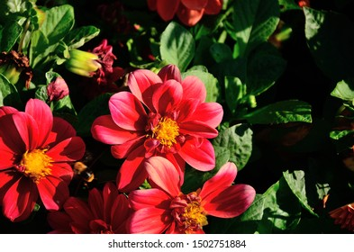 Red flower, Zinnia elegans (Common Zinnia) in the park in autumn sunny day.