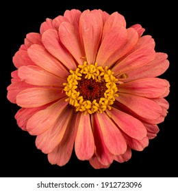 Red flower of zinnia, isolated on black background.