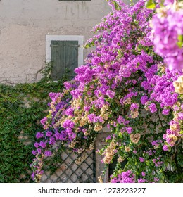 Red flowering bougainvillea in front of a brick wall