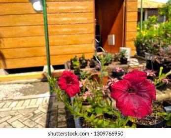 Red flowering petunias growing, Red flower Petunia Surfinia Vein in garden, Colourful petunia. Flowerbed with red petunias (Petunia hybrida) flowers. Beautiful Petunias in winter garden