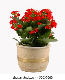 Red flowering pot plant