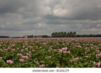 Red Flowering Potato Field and Farm with Heavy Clouds