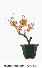 red flowering quince in the pot