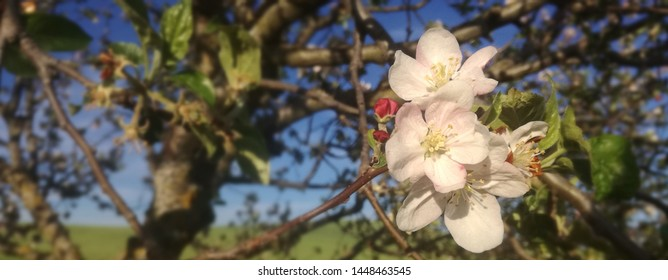 Red flowers. Apple tree in bloom. Flowering fruit tree nuts. European agricultural industry of fruit. Contrasts of natural colors in Spanish rural area.