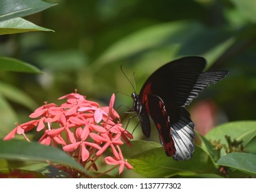 Red flowers with a beautiful scarlet mormon swallowtail butterfly.