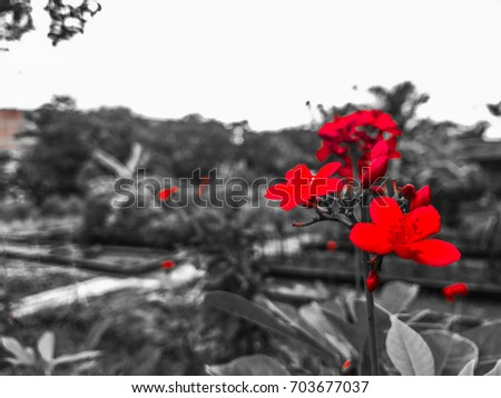 Red Flowers Black White Background Stock Photo Edit Now 703677037
