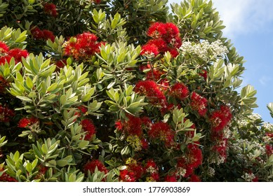 Red flowers of the blooming Callistemon tree. It is called beautiful stamen, red stamen, brushes for cleaning