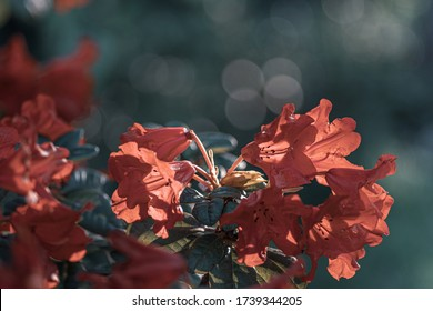 red flowers of a blooming rhododendron