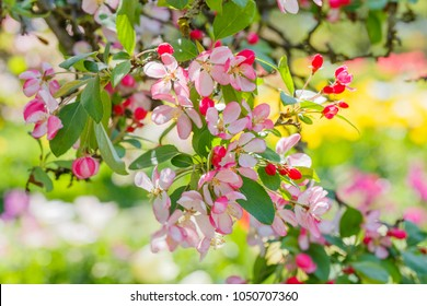 Red flowers and bud of Wild Apple tree. Spring background with Apple tree blossom. Malus floribunda, common name Japanese flowering crabapple, Japanese crab, purple chokeberry, or showy crabapple