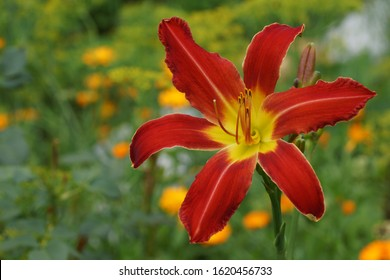 Red flowers daylily. Beautiful red flowers daylily. Throat yellow. Red daylilies blossom in the summer.  Venusian Heat.