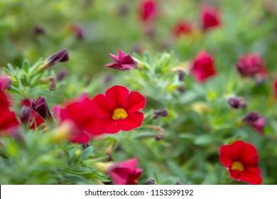 red flowers in focus