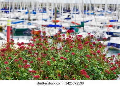 red flowers in front of sailors at the harbor of Howth - Ireland