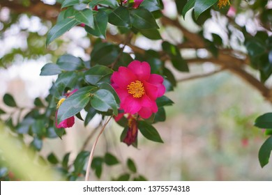 Red flowers in the garden : Sasanqua (Camellia sasanqua)   - Shutterstock ID 1375574318