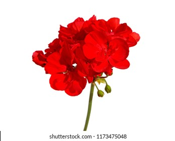 Red flowers of geraniums isolated on white