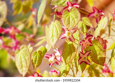 Red flowers, green young foliage  Epimedium close-up. Perennial herbaceous plant.