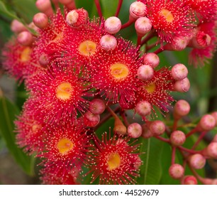 red flowers of gum tree eucalyptus phytocarpa now known as Corymbia ptychocarpa  australian native red flowering eucalypt
