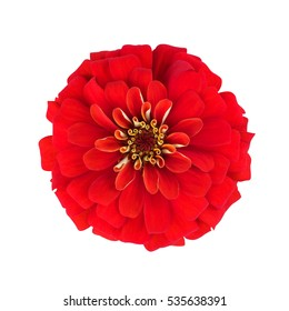 Red flowers Isolated on white background.  zinnia.