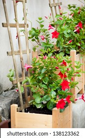 Red flowers of Mandevilla sanderi or Dipladenia sanderi called Brazilian jasmine, plant growing in wooden box with flower support on wall.